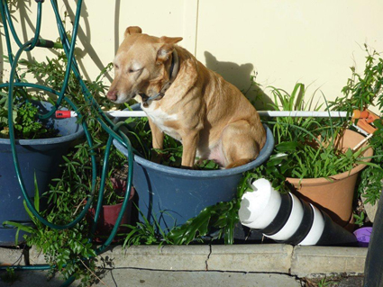 coffee dog sitting in a pot of rhubarb