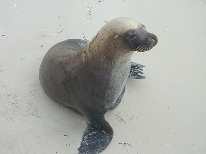 103 Also at the Jetty is another icon - 'Sammy' the seal. Esperance, WA